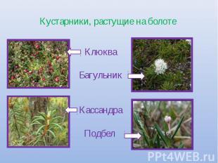 Кустарники, растущие на болоте КлюкваБагульникКассандра Подбел