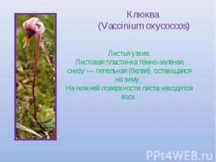 Клюква (Vaccinium oxycoccos) Листья узкие. Листовая пластинка тёмно-зелёная, сни