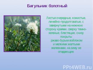 Багульник болотный Листья очередные, кожистые, линейно-продолговатые, с завернут