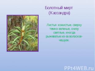 Болотный мирт (Кассандра) Листья кожистые, сверху темно-зеленые, снизу светлые,
