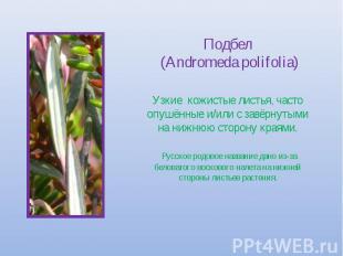 Подбел (Andromeda polifolia) Узкие кожистые листья, часто опушённые и/или с завё