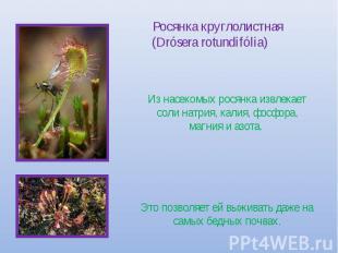 Росянка круглолистная (Drósera rotundifólia) Из насекомых росянка извлекает