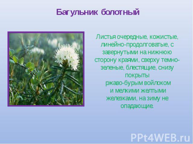 Багульник болотный Листья очередные, кожистые, линейно-продолговатые, с завернутыми на нижнюю сторону краями, сверху темно-зеленые, блестящие, снизу покрыты ржаво-бурым войлоком и мелкими желтыми железками, на зиму не опадающие.