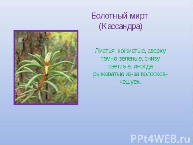 Болотный мирт (Кассандра) Листья кожистые, сверху темно-зеленые, снизу светлые, иногда рыжеватые из-за волосков-чешуек.