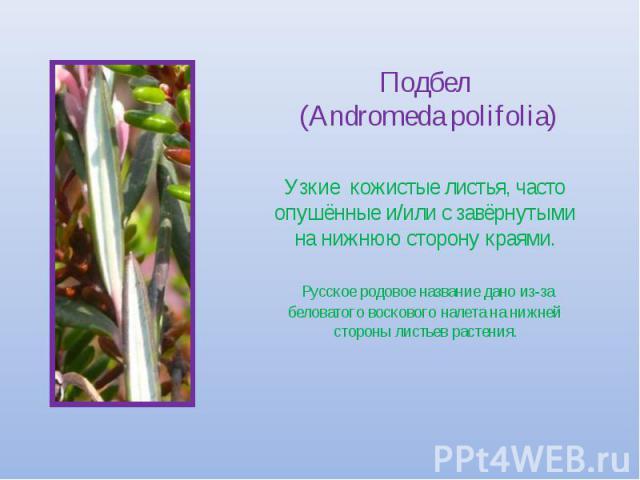Подбел (Andromeda polifolia) Узкие кожистые листья, часто опушённые и/или с завёрнутыми на нижнюю сторону краями. Русское родовое название дано из-за беловатого воскового налета на нижней стороны листьев растения.