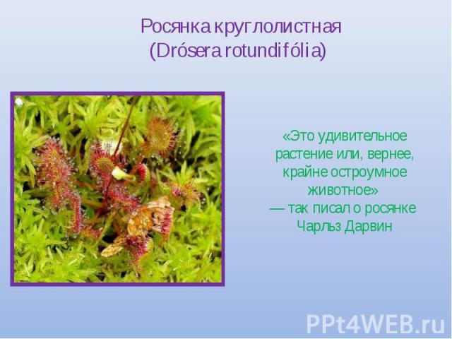 Росянка круглолистная (Drósera rotundifólia) «Это удивительное растение или, вернее, крайне остроумное животное» — так писал о росянке Чарльз Дарвин
