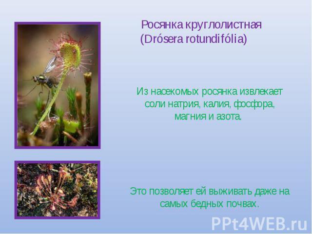 Росянка круглолистная (Drósera rotundifólia) Из насекомых росянка извлекает соли натрия, калия, фосфора, магния и азота. Это позволяет ей выживать даже на самых бедных почвах.