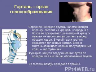 Гортань – орган голосообразования Строение: широкая трубка, напоминающая воронку