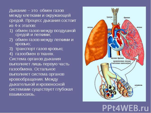 Дыхание – это обмен газовмежду клетками и окружающейсредой. Процесс дыхания состоитиз 4-х этапов: обмен газов между воздушной средой и легкими; обмен газов между легкими и кровью;транспорт газов кровью; газообмен в тканях. Система органов дыханиявып…