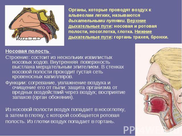 Органы, которые проводят воздух к альвеолам легких, называются дыхательными путями. Верхние дыхательные пути: носовая и ротовая полости, носоглотка, глотка. Нижние дыхательные пути: гортань трахея, бронхи. Носовая полость Строение: состоит из нескол…
