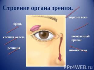 Строение органа зрения.