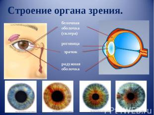Строение органа зрения. белочная оболочка(склера) роговица зрачок радужная оболо