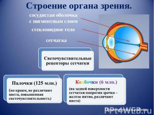Строение органа зрения. сосудистая оболочкас пигментным слоем стекловидное тело