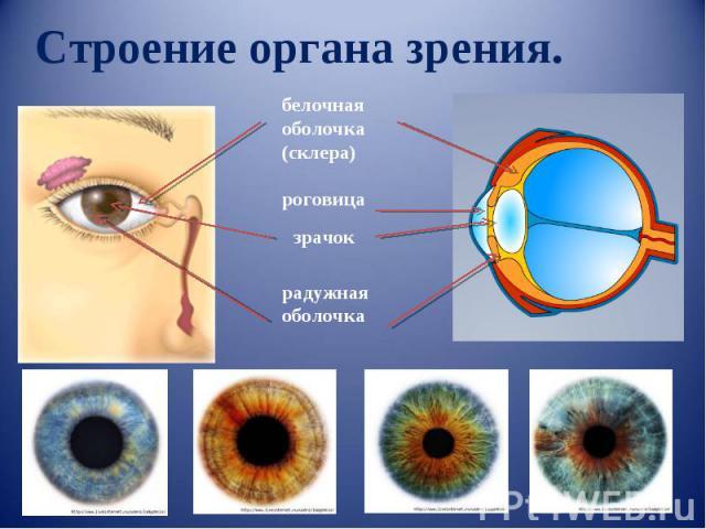 Строение органа зрения. белочная оболочка(склера) роговица зрачок радужная оболочка