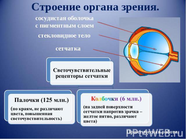 Строение органа зрения. сосудистая оболочкас пигментным слоем стекловидное тело сетчатка Светочувствительные рецепторы сетчаткиПалочки (125 млн.)(по краям, не различают цвета, повышенная светочувствительность)Колбочки (6 млн.)(на задней поверхности …