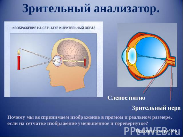 Зрительный анализатор. Слепое пятно Зрительный нерв Почему мы воспринимаем изображение в прямом и реальном размере, если на сетчатке изображение уменьшенное и перевернутое?