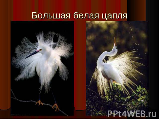 Большая белая цапля