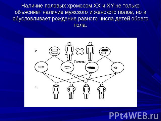 Наличие половых хромосом XX и XY не только объясняет наличие мужского и женского полов, но и обусловливает рождение равного числа детей обоего пола.