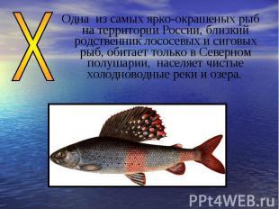 Одна из самых ярко-окрашеных рыб на территории России, близкий родственник лосос