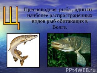Пресноводная рыба , один из наиболее распространённых видов рыб обитающих в Волг