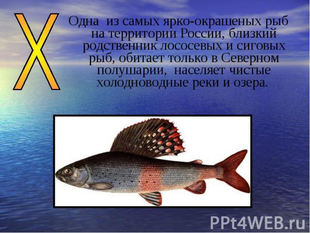 Одна из самых ярко-окрашеных рыб на территории России, близкий родственник лососевых и сиговых рыб, обитает только в Северном полушарии, населяет чистые холодноводные реки и озера.