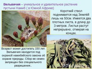 Вельвичия – уникальное и удивительное растение пустыни Намиб ( в Южной Африке) К