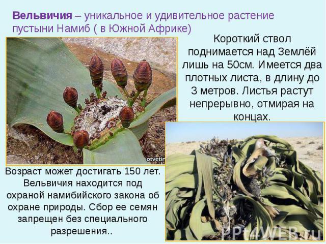 Вельвичия – уникальное и удивительное растение пустыни Намиб ( в Южной Африке) Короткий ствол поднимается над Землёй лишь на 50см. Имеется два плотных листа, в длину до 3 метров. Листья растут непрерывно, отмирая на концах. Возраст может достигать 1…