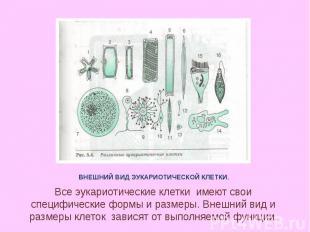 ВНЕШНИЙ ВИД ЭУКАРИОТИЧЕСКОЙ КЛЕТКИ. Все эукариотические клетки имеют свои специф