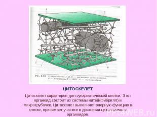 Цитоскелет характерен для эукариотической клетки. Этот органоид состоит из систе