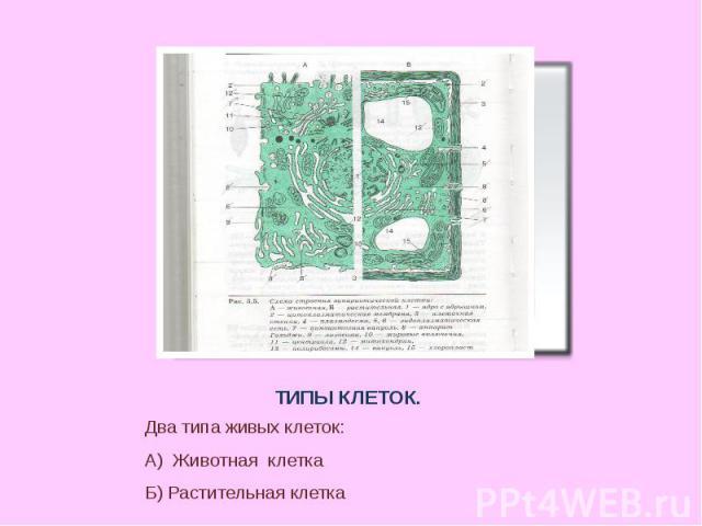 ТИПЫ КЛЕТОК.Два типа живых клеток:А) Животная клеткаБ) Растительная клетка