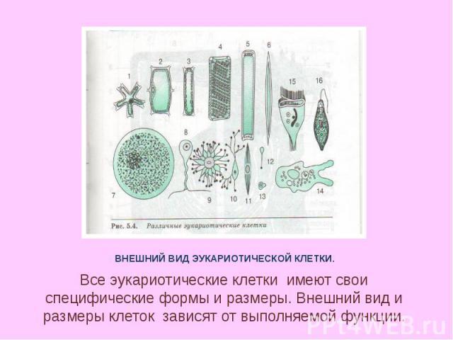 ВНЕШНИЙ ВИД ЭУКАРИОТИЧЕСКОЙ КЛЕТКИ. Все эукариотические клетки имеют свои специфические формы и размеры. Внешний вид и размеры клеток зависят от выполняемой функции.