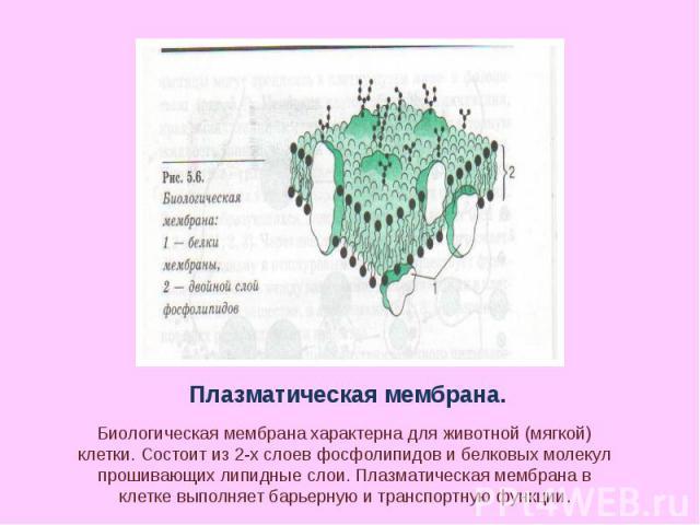 Плазматическая мембрана. Биологическая мембрана характерна для животной (мягкой) клетки. Состоит из 2-х слоев фосфолипидов и белковых молекул прошивающих липидные слои. Плазматическая мембрана в клетке выполняет барьерную и транспортную функции.