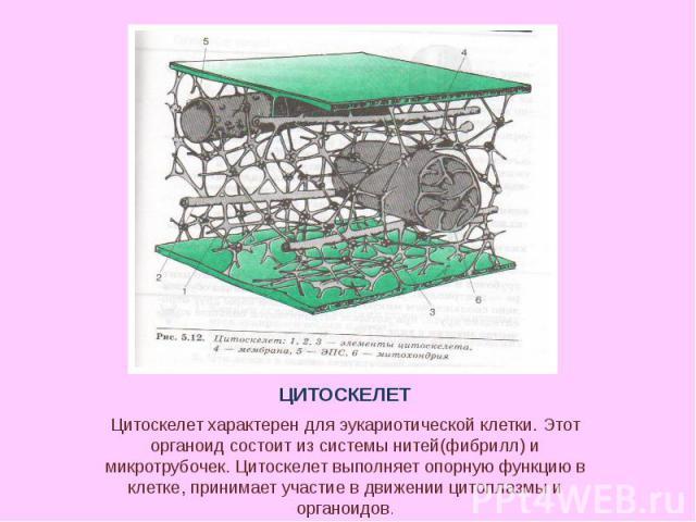 Цитоскелет характерен для эукариотической клетки. Этот органоид состоит из системы нитей(фибрилл) и микротрубочек. Цитоскелет выполняет опорную функцию в клетке, принимает участие в движении цитоплазмы и органоидов.