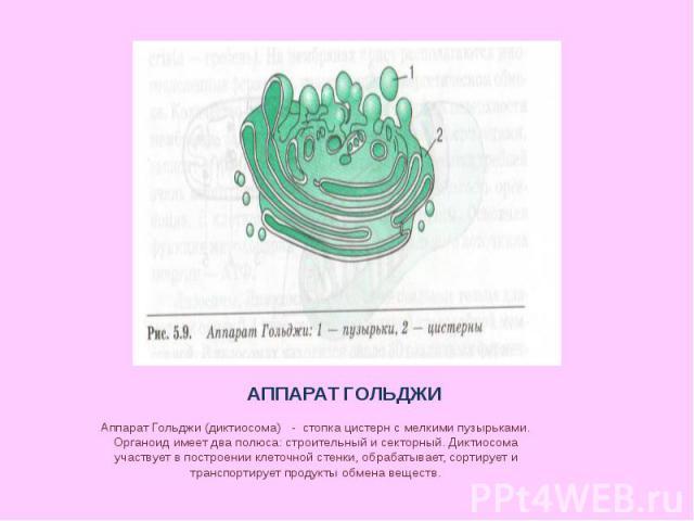 АППАРАТ ГОЛЬДЖИ Аппарат Гольджи (диктиосома) - стопка цистерн с мелкими пузырьками. Органоид имеет два полюса: строительный и секторный. Диктиосома участвует в построении клеточной стенки, обрабатывает, сортирует и транспортирует продукты обмена веществ.