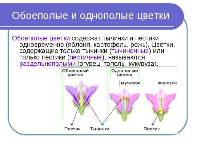 Обоеполые и однополые цветки Обоеполые цветки содержат тычинки и пестики одновременно (яблоня, картофель, рожь). Цветки, содержащие только тычинки (тычиночные) или только пестики (пестичные), называются раздельнополыми (огурец, тополь, кукуруза).