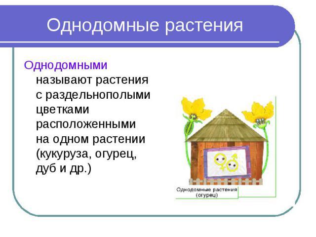 Однодомные растения Однодомными называют растения с раздельнополыми цветками расположенными на одном растении (кукуруза, огурец, дуб и др.)