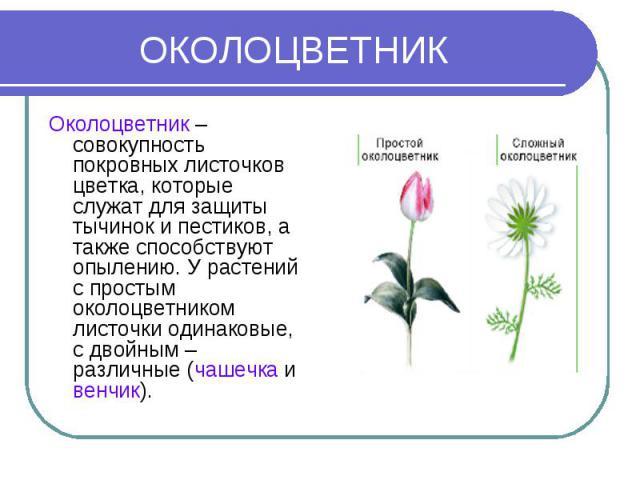ОКОЛОЦВЕТНИК Околоцветник – совокупность покровных листочков цветка, которые служат для защиты тычинок и пестиков, а также способствуют опылению. У растений с простым околоцветником листочки одинаковые, с двойным – различные (чашечка и венчик).