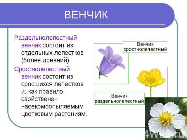 ВЕНЧИК Раздельнолепестный венчик состоит из отдельных лепестков (более древний).Сростнолепестный венчик состоит из сросшихся лепестков и, как правило, свойственен насекомоопыляемым цветковым растениям.