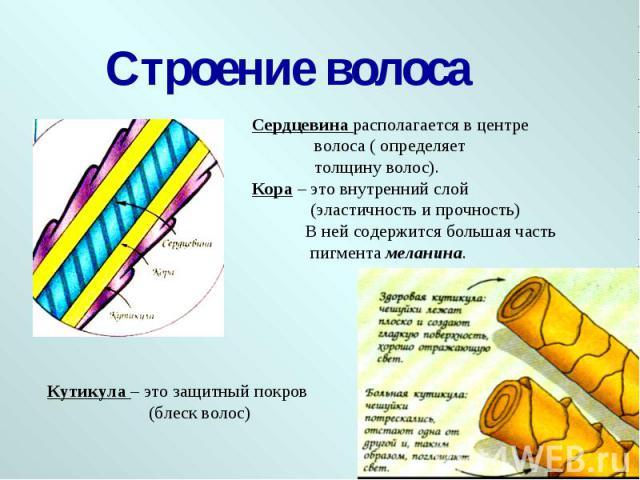 Строение волоса Сердцевина располагается в центре волоса ( определяет толщину волос).Кора – это внутренний слой (эластичность и прочность) В ней содержится большая часть пигмента меланина. Кутикула – это защитный покров (блеск волос)