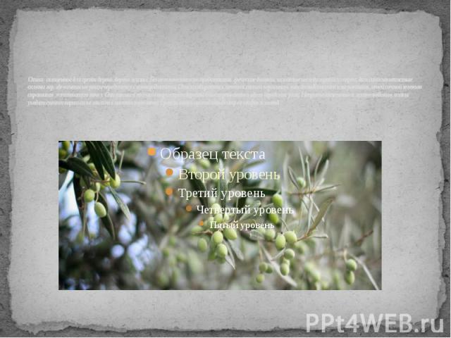 Олива - священное для греков дерево, дерево жизни. Без него невозможно представить греческие долины, зажатые между горами и морем, да и сами каменистые склоны гор, где оливковые рощи чередуются с виноградниками. Оливы взбираются почти к самым вершин…