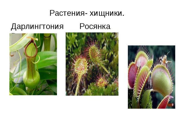 Растения- хищники.Дарлингтония Росянка Венерина мухоловка