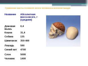 Сравнение массы головного мозга человека и млекопитающих