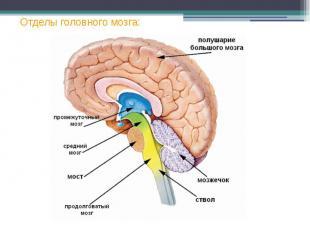 Отделы головного мозга: