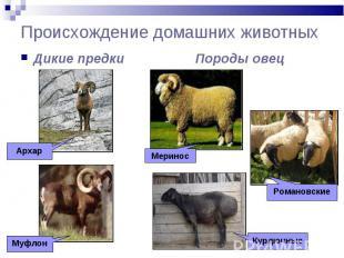 Происхождение домашних животных Дикие предки Породы овец