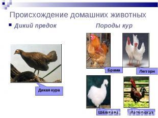 Происхождение домашних животных Дикий предок Породы кур