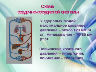 Схема сердечно-сосудистой системы У здоровых людей максимальное кровяное давлени