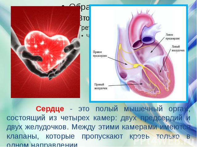Сердце - это полый мышечный орган, состоящий из четырех камер: двух предсердий и двух желудочков. Между этими камерами имеются клапаны, которые пропускают кровь только в одном направлении.