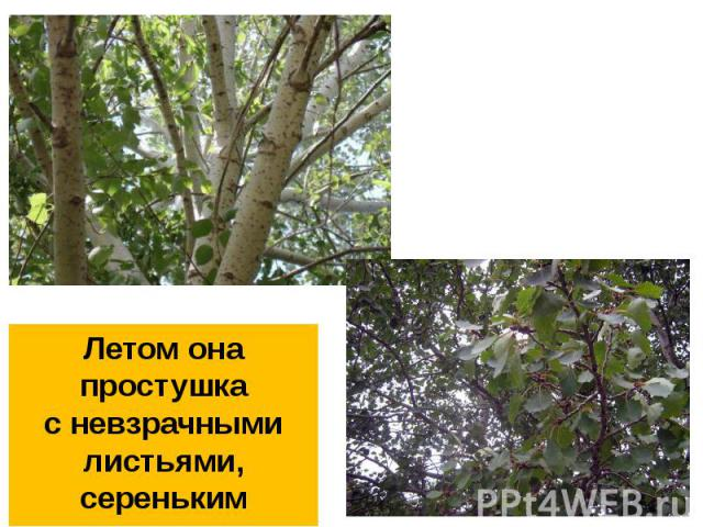 Летом она простушкас невзрачными листьями,сереньким стволом