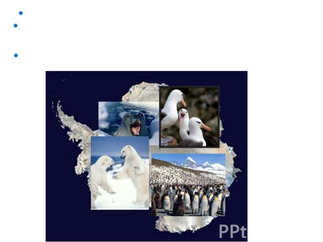 В Антарктиде зафиксирована самая низкая температура на Земле -89,2°С. Из-за очень низких температур животный мир не отличается разнообразием. А растительность можно встретить лишь в оазисах – небольших участках прибрежной полосы, покрытых талыми пре…