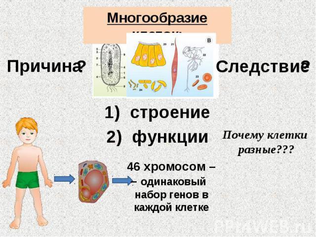 Многообразие клеток: Причина Следствие строение функции Почему клетки разные??? 46 хромосом – – одинаковый набор генов в каждой клетке
